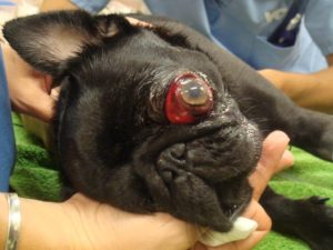 Problème oculaire des carlins